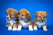 Welsh Corgi puppies (Source: pixabay)